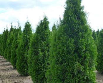 Trees & Shrubs >