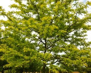 Sunburst Honeylocust